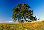 Samotna stara sosna - dziś rzadkość na roztoczańskich polach. Na południe od Bliżowa