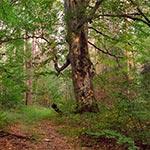 Potężny buk - pomnik przyrody w rejonie Wielkiego Działu. Ook stoi stary krzyż bruśnieński oraz bunkier Linii Mołotowa