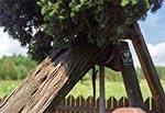 Pomnikowy jazłowiec w Bełżcu