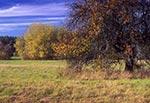 Stara jabłoń na łąkach nieistniejącej wsi Dahany