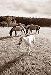 Koniki Polsce na pastwiskach Florianki