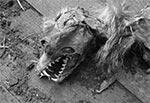Zmumifikowany lis w zrujnowanym młynie