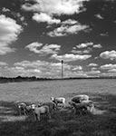 Baranki na pastwiskach Florianki