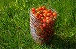 Efekt jednej wizyty pośród krzaczków pomidorowych. Najlepsze są koktajlowe (Koralik), bo są odporne na choroby (nie trzeba ich pryskać). Mają niebywale skondensowany smak.