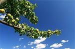Stara, dzika gruszka ma niewielkie ale nadzwyczaj dobre owoce. W przyrodzie jest tak, że mały jest smaczny.