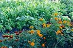 Aksamitki chronią warzywa. Więc nie trzeba pryskać chemią. Są naturalne metody, którymi brzydzi się przemysł chemiczny - bo oznacza to dla niego straty.