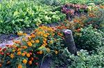 Uprawa współrzędna,  pomoc aksamitek i czosnku w odstraszaniu szkodników, nawozy zielone oraz biohumus i pożyteczne organizmy EM, a do tego kompost. I to wszystko co zapewnia plony a jednocześnie zdrowe warzywa i owoce.