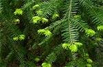 Przyrosty jodły w części leśnej