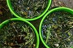 Gnojówka z mniszka. Można obyć się zupełnie bez chemii w ogrodzie dzięki takim naturalnym zabiegom.