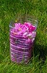 Róża konfiturowa, przygotowana do transportu rowerowego ;-)