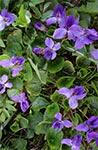 Wiosną odurza zapach fiołkowych łanów