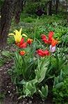 Tulipanowa kępa