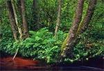 Leśne otoczenie potoku Szum koło Górecka Kościelnego