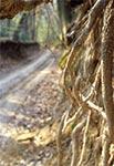 Korzenie drzewa rosnącego na skraju wąwozu w Lesie Cetnar koło Kawęczynka
