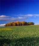 Roztoczańskie pola rzepaku jesienią